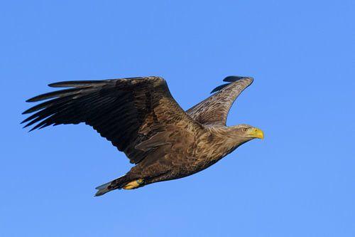 Zeearend vliegend in de lucht boven een Fjord van Sjoerd van der Wal