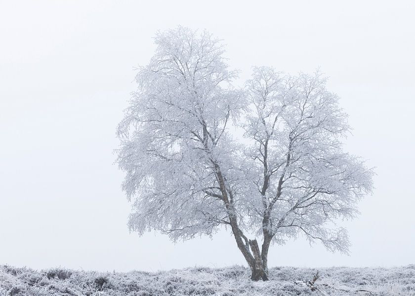 Eenzame berijpte boom