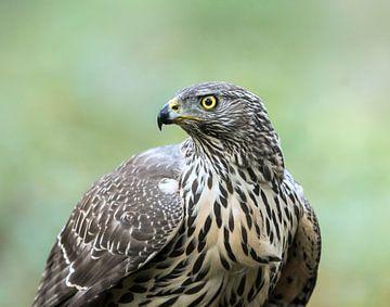 Juvenile Northern Goshawk! van Robert Kok