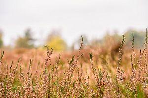 Heide op de voorgrond