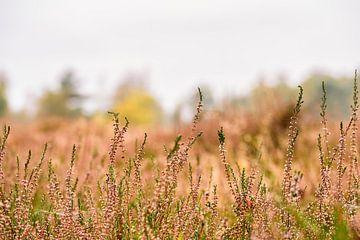 Heide op de voorgrond van Richard Bremer