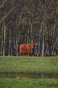 Schotse Hooglander in bos op Texel van Inge Kampen