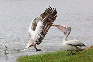 Pelikanen van Antwan Janssen