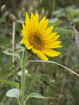 Sonnenblume von Made_ by_Sandy