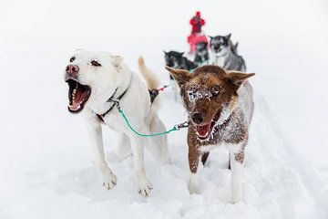 Huskies trekken hondenslee in de sneeuw