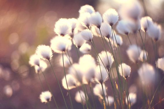 Paardenbloemen - Dandelions -  Pusteblumen von Julia Delgado