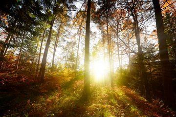 Zonsopgang in het bos van