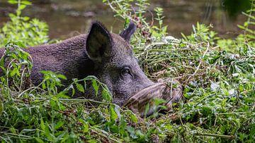 Wild zwijn met Frisling von Randy van Domselaar