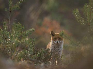 Veluws vosje van Pieter Roest