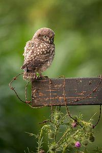 Uilskuiken van de Steenuil - Little Owl van