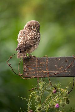 Uilskuiken van de Steenuil - Little Owl van Aukje Ploeg