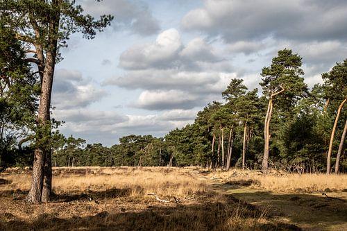 Een dennenbos aan de rand van een grasvlakte op de Veluwe