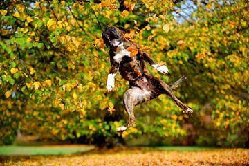 Boxer plays in autumn leaves van Lars Tuchel