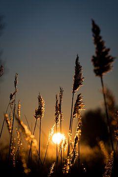 Sonnenaufgang durch das Schilf am Bach von StephanvdLinde
