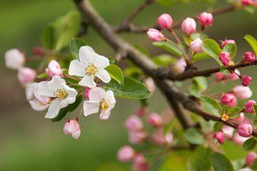 Appelbloesem van Marijke van Eijkeren