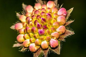 Rosa Blume von Myra van Heeringen