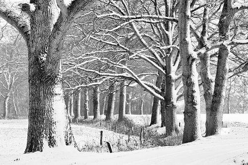 Eiken in een winters bos. van