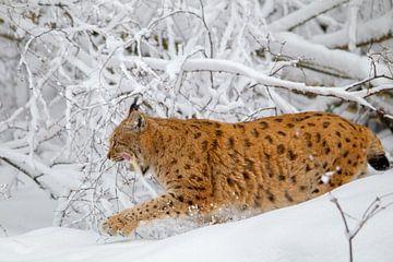 Luchs (Lynx lynx) von Dirk Rüter