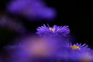 Herfstasters in een paarse waas van