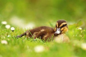 jong eendje liggend in het gras van Petra Kilwinger