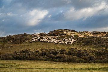 Schapen in de Katwijkse duinen van MICHEL WETTSTEIN