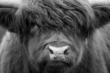Porträt Schottischer Hochländer schwarz-weiß von Dennis Bresser