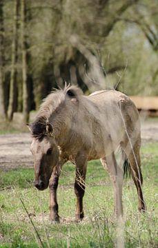 koniks paard in de millingerwaard van