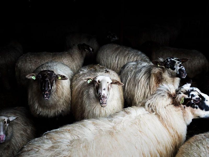 Sheep (colour) van Lex Schulte