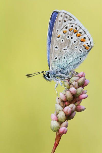 Icarusblauwtje van Rick Willemsen