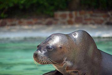 close up van een zeeleeuw van Robin Verhoef