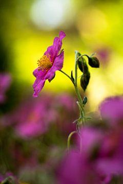 Wisley Pink van William Mevissen
