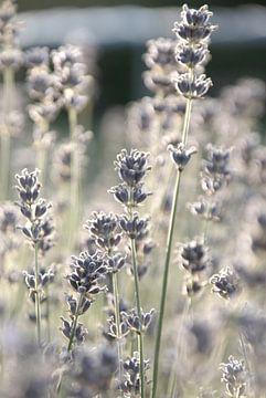 Lavendel in de tuin sur Anne van de Beek
