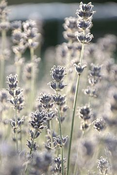 Lavendel in de tuin van