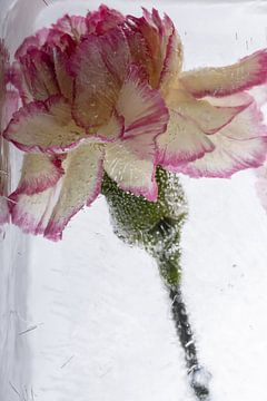 Nelke in kristallklarem Eis 2 von Marc Heiligenstein