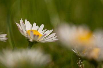 Gänseblümchen im grünen Feld von Danny Motshagen