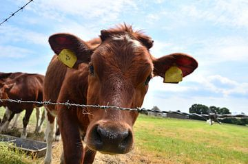 Nieuwsgierige koe von Wilco Bos