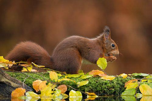 Red squirrel von Rob Christiaans