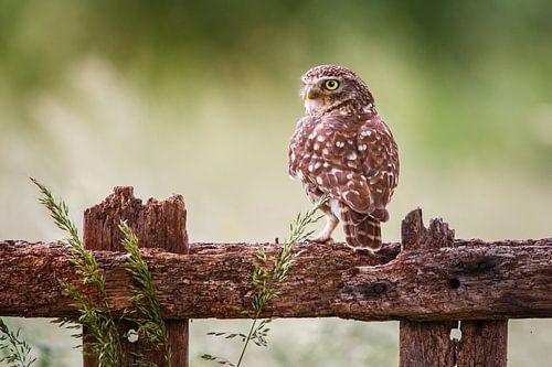 Little owl von Pim Leijen