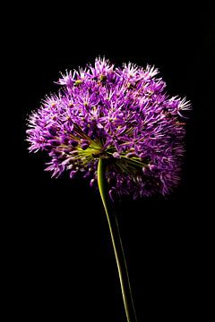 fleur d'allium sur tige sur Klaartje Majoor