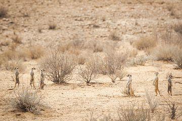 Stokstaartjes verspreid in de woestijn van Simone Janssen