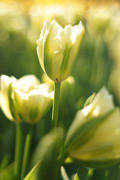Weiße Tulpe mit kleiner Spinne von Discover Dutch Nature