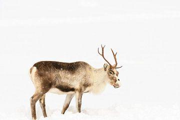 Rendier in de sneeuw tijdens de winter in Noord Noorwegen. van Sjoerd van der Wal