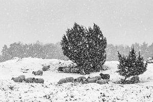 Schaapskudde in sneeuwbui