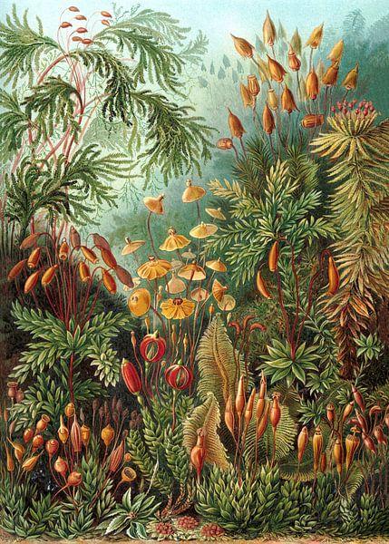 Mossen, Ernst Haeckel van Meesterlijcke Meesters