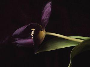 Lila einzelne Tulpe