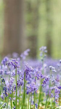 Wilde hyacint van