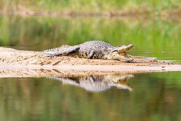 Krokodil am Sambesi von Angelika Stern