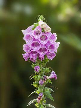 Paarse vingerhoedskruid bloem van