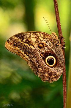 Bruine vlinder
