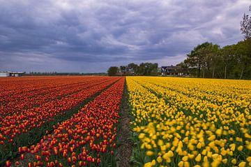 Tulpenveld in Voorhout van Richard Steenvoorden